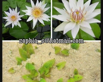 100 DWARF WHITE  Water Lily / Pond Plant / Flowering Seeds