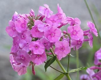 Garden Phlox (Phlox Paniculata)-perennial-live plant