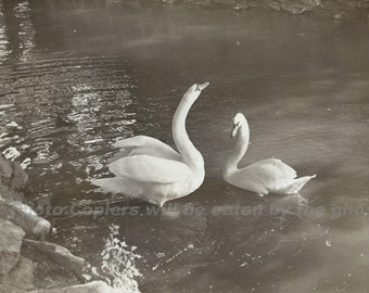 Majestic Swans in a Lake - Vintage Black and White Snapshot 6x4 Larger 1940's 1950's