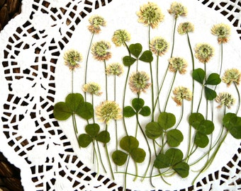 Dried pressed flowers, real dried pressed white clover with leaves