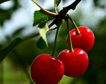 8x10 Cherries