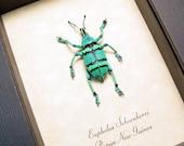 Great Christmas Gift Eupholus Schoenherri Colorful Aqua Blue Green Banded Framed Weevil 7697