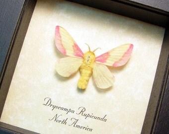 Real Framed Dryocampa Rubicunda Rosy Maple Moth Shadowbox Display 8301