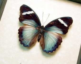 Real Framed Female Euphaedra Eberti Forester Butterfly 311F