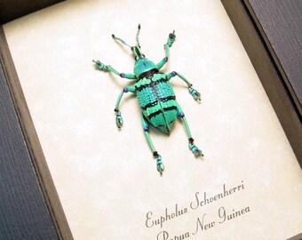 Eupholus Schoenherri Colorful Aqua Blue Green Banded Framed Weevil 7697