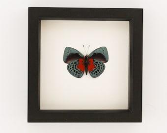 Framed Darwin Optima Butterfly Shadowbox