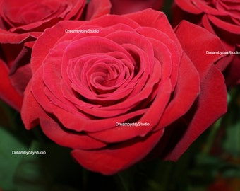Red rose photograph 5 x 7