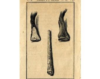 1775 GIRAFFE ANATOMY engraving - original antique African safari animal print - hornes - ossicones