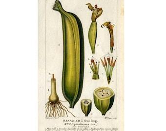 1816 BANANA FRUIT print original antique botanical fruit engraving