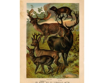 1880 DEER BUCK STAG lithograph - original antique print - wild life mammal zoology lithograph - animal habitat
