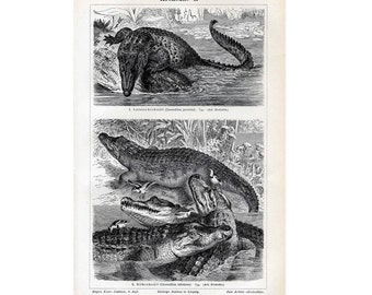 1894 CROCODILE ALLIGATOR water life original antique engraving