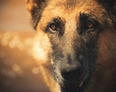 German Shepherd Photography Dog,black,tan,Gift for dog lovers,dog in water,german shepherd closeup,beautiful eyes,lake superior shoreline,