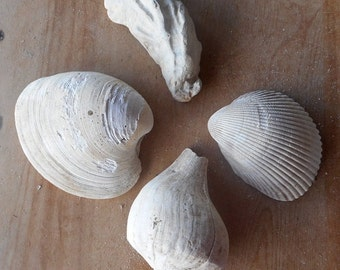 Large Shells Four Different Florida Fossil Finds Clam Oyster Cockle Welk Shell Collection