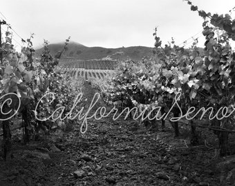 A Vineyard Row a California Winery Photograph 11x14 in Black and White