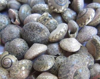 Beach Decor Seashells - Small Black Umbonium Sea Shells - 1/2 Cup - for Nautical Decor, Beach Weddings or Crafts