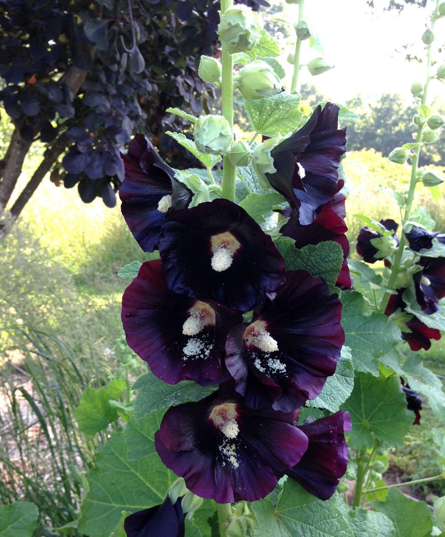 Tall Hollyhock Black Flower Alcea Rosea Nigra: Black Hollyhock Seeds Organic Hollyhocks By Mountainlilyfarm