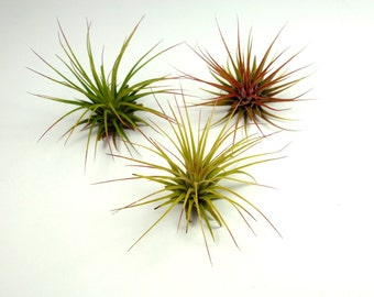 A Set of 3 Air Plants - Wholesale Tillandsia Air Plants for Terrariums and Planters, Air Plant Supply, Terrarium Airplants, Tillandsia Plant