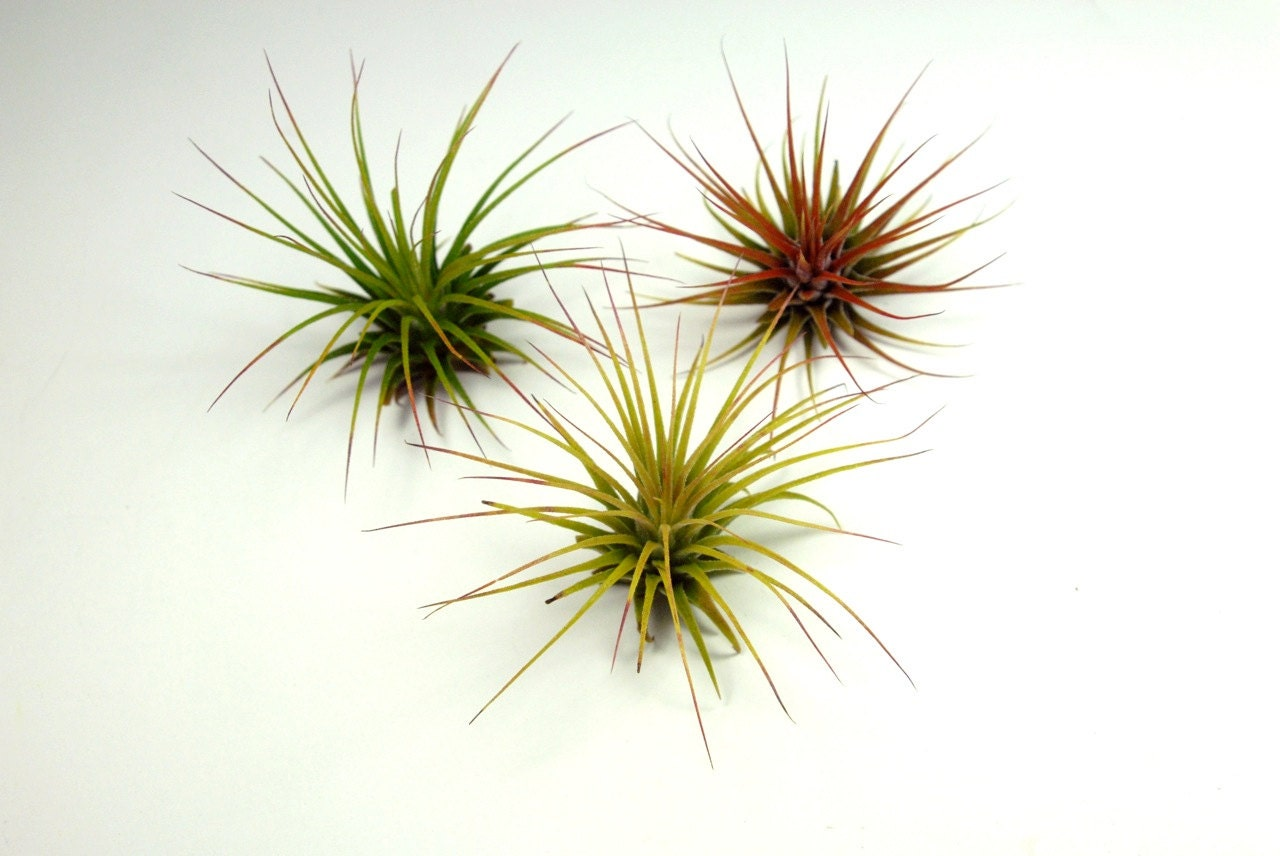 A set of 3 air plants wholesale tillandsia air plants for Cheap air plants