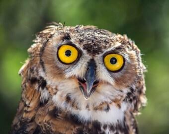 Great Horned Owl. Horned Owls. Owls. Birds of Prey. Professional Print. Bird of Prey Photography by Liz Bergman. Liz and Rich Photography.