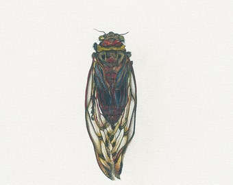 Cicada with folded wings