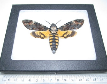 Real silence of the lambs acherontia atropos death's head moth framed butterfly insect