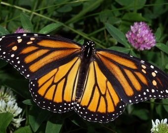 ONE Real Butterfly North American Monarch Danaus Plexippus