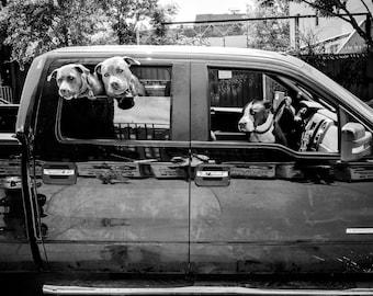 Street Photography - Dog Photo, Three Pit Bulls in a Truck, Pit Bull, dog photo, dog print, animal, dogs - 8x10 black and white photograph