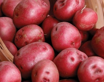Fall Shipping Red Pontiac Seed Potatoes 2 Lbs. Certified Organic Red Skinned - Non-GMO