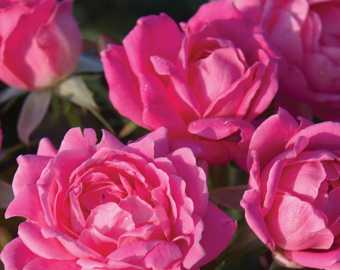 Pink Double Knock Out ® Rose Bush - Own Root  Reblooming Pink Flowers Potted Grown Organic - Spring Shipping