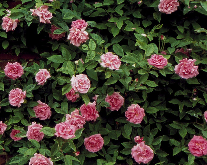 Zephirine Drouhin Rose Bush - Pink Fragrant Nearly Thornless Climbing Rose | Organic Grown Potted Own Root Rose - Spring Shipping