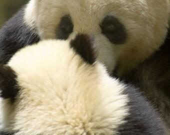 San Diego Zoo, Panda's, Nature Photography, Wildlife Photography, Baby Panda, California