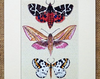 Moth Print Moth Painting Moth Illustration Moths On Script - 'Moths on Poetic Ground'  featuring the Tiger,Elephant Hawk & Magpie Moths