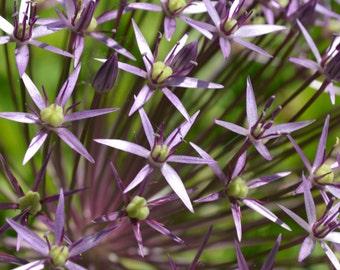 Allium Cristophii 2016 Blub Seeds