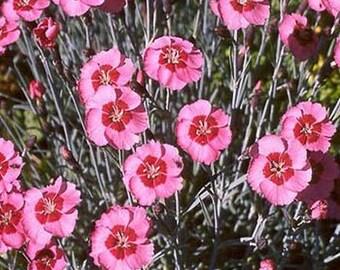 Dianthus- Alwood pink- 50 seeds