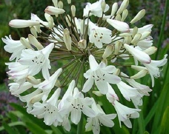 White African Lily Agapanthus Flower Seeds / Perennial  25+