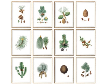 Pinecone Art Print SET OF 12. UNFRAMED  pine cone art, pine cones, pine cone poster, pine cone decor, botanical print, botanical art