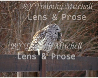 Digital Download Owl with dinner, Owl after its hunt picture by Timothy Mitchell