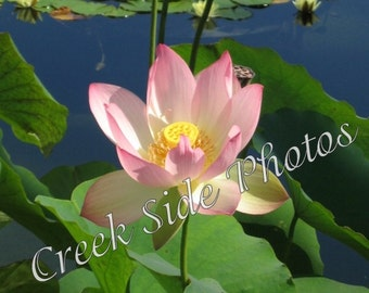 Instant Digital Download, Water Lily, Pond, Flower, Balboa Park, Flower Photography, Wall Art