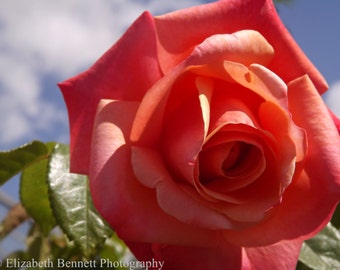 Rose, Nature, Photography, Print