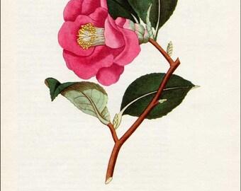 Vintage Camellia Flower Botanical, Floral Bookplate Print for Framing, Rose Colored Camellia Flower