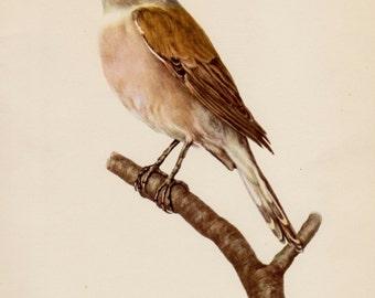 Lovely Antique Bird Print Library Decor Shrike Bird Gallery Wall Art Office Decor Vintage Animal Print Gift for Bird Enthusiast Lover #1944