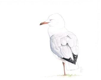 Sleeping Silver Gull Original Watercolour Illustration