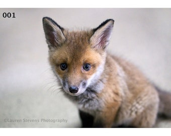 Professional Photographic Prints- Foxes