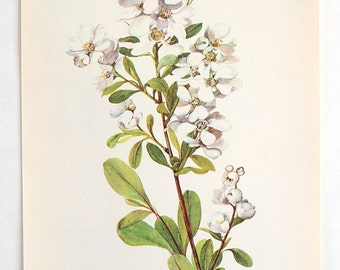 Vintage Botanical Flower Print - Bookplate Plant  Illustration - White Flower Pearl Bush