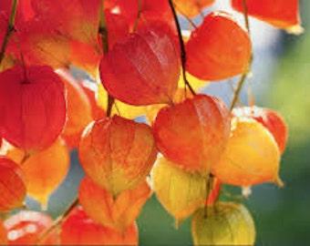 Chinese Lantern Seeds, Physalis Alkekengi, Ground Cherry, Perennial Plants, Florist Flower Arrangement Plant, Orange Pods