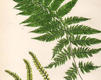 Antique FERN Print 1908 Heath Botanical Chromolithograph PLUMED LADY Fern etc