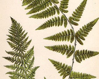 Antique FERN Print 1908 Heath Botanical Chromolithograph RIGID BUCKLER Fern etc