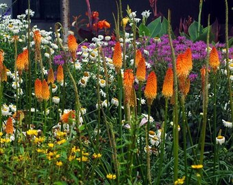 New 30 Seeds Home Garden Plant TORCH LILY / Red Hot POKER Tritoma Uvaria,Kniphofia Aloides Flower Seeds