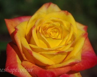 Yellow and pink rose - Nature photography print