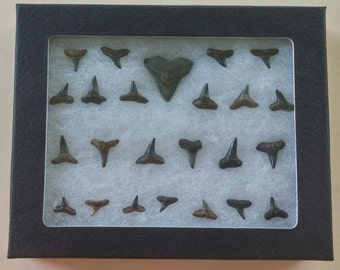 Fossilized sharks teeth in case (24)